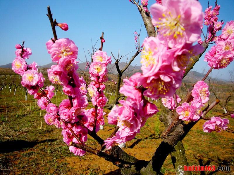 6 梅花树