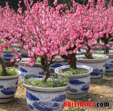 5 盆栽梅花